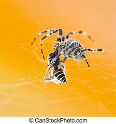 Araneus spider eats wasp - Araneus spider eats tangled wasp...