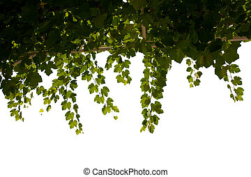 grape leaf - Close up view of grape leaf on white back to be...