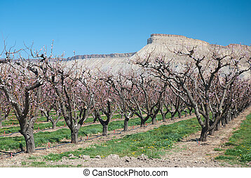 Peach orchard with a mesa in the background
