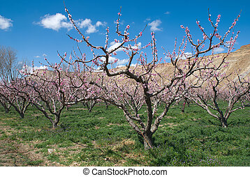 Blooming Peach orchard - Peach orchard in western Colorado