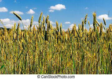 grain field - Grain field with ripe cereals