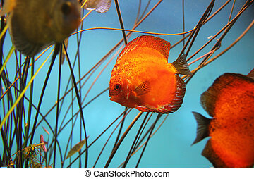 Discus fish - Fire red discus fish