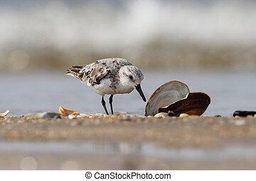 Sanderlings Calidris alba - Sanderling Calidris alba feeding...