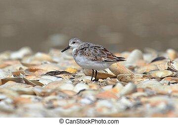 Sanderlings (Calidris alba) - Sanderling (Calidris alba) in...