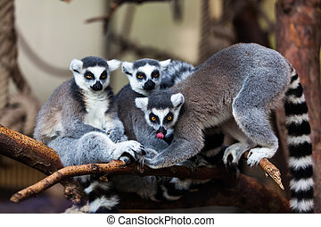 Ring Tailed Lemur  - Ring Tailed Lemur
