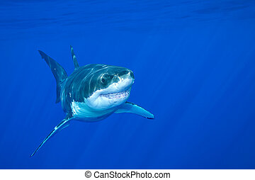 Great white shark - A great white shark swimming at...