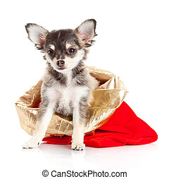 Chihuahua puppy   for Christmas!