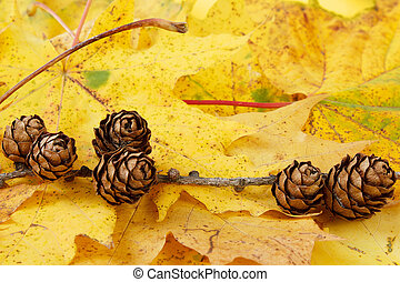 pine cones background - small pine cones and yellow maple...