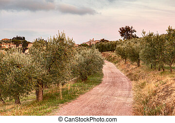 olive tree orchard in Umbria , Italy - olive tree...