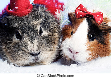 Abstract xmas funny backgrounds with pair of guinea pigs