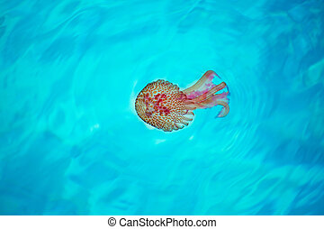 Mditerranean Mauve Jellyfish in turquoise waters -...