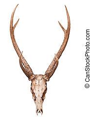 samba deer skull horn isolated on white background use for...