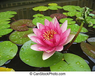 water lily - pink and red water lily on a pound