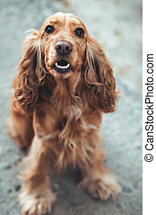 dog English Cocker Spaniel - English Cocker Spaniel sitting...