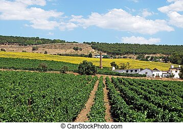 Vineyard and sunflowers, Andalusia. - Vineyards with...