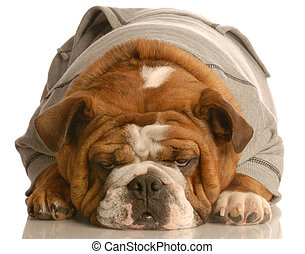 bored dog - english bulldog laying down with cute expression...
