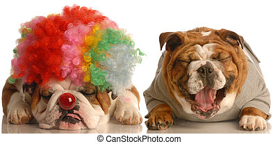 two dogs clowning around - english bulldog laughing at...