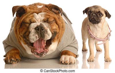 bulldog bully - english bulldog laughing at pug puppy that...