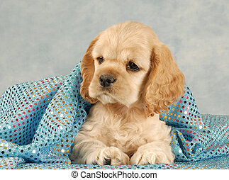 cocker spaniel puppy - adorable american cocker spaniel...