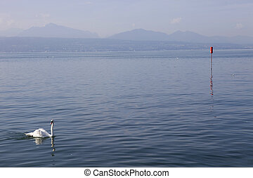 lausanne swan - beautiful white swan in lausanne lake,...