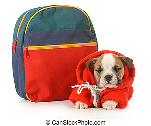 puppy classes - english bulldog puppy dressed up for school...