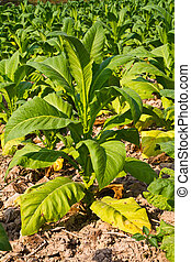 Tobacco plant in the farm, Thailand