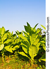 Tobacco plant in the farm and blue sky in background