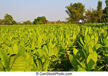 Tobacco farm - Tobacco plant in the farm and blue sky in...