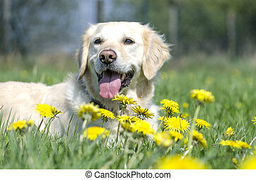 Golden Retriever in einer Blumenwiese.