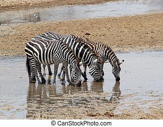 Zebra (Equus burchelli) - Zebras (Equus burchellii) are...