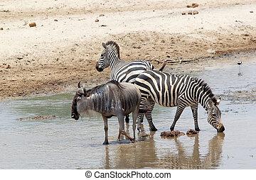 Wildebeest (Connochaetes taurinus) and zebra (Equus...