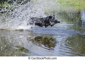 Labrador liebt Wasser - Labrador springt in einen Teich, um...