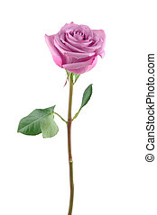 Purple rose in isolated white