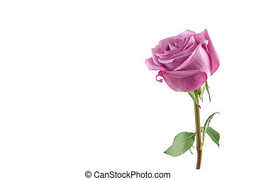Purple rose with copy space - Purple rose in isolated white,...