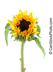 Sunflower in isolated white background