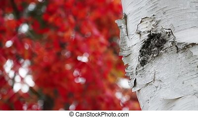 Maple Leaves and White Birch Loop - Loop features a white...