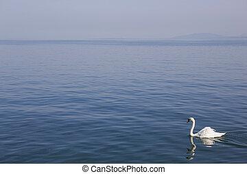 lausanne swan - beautiful white swan in lausanne lake,...