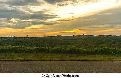 Palm Oil Plantation with sunset background