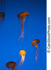 jelly fish - blue background with jelly fish floating in the...