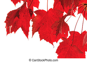 Red Maple Leaves Hanging Isolated