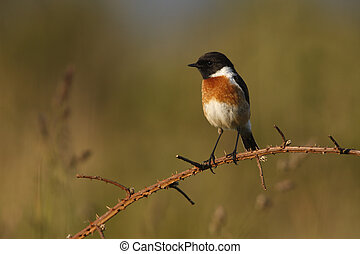 Stonechat, Saxicola torquata, single male on branch,...