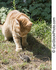 Cat and mouse in garden Cat catching mouse