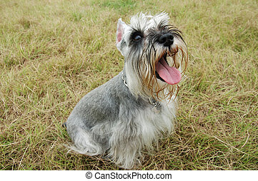 Schnauzer dog sitting on grass