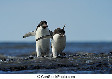 Two Adelie Penguin coming out of the water