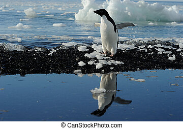Adelie Penguin standing at water with reflection