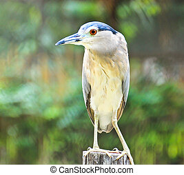Beautiful view of a bird Black-crowned Night Heron
