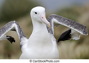 Southern Royal Albatross portrait, spreading wings