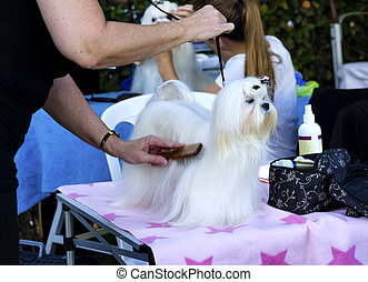 Dog Grooming - A small beautiful and adorable white maltese...