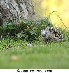 Little hedgehog looking at you in the garden