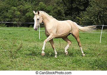 Beautiful palomino horse running on pasturage in autumn